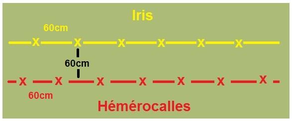 Hémérocalles cache-misère des iris Plan_d10