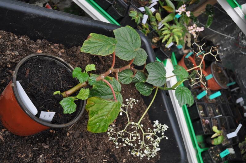 Begonia convolvulacea et ? Avril_12