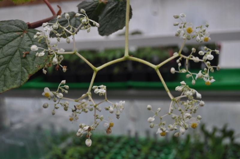 Begonia convolvulacea et ? Avril_13