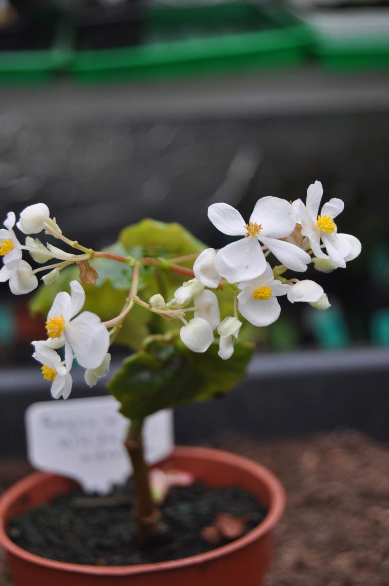 Quelques photos de bégonias en fleurs (ou pas) ici Avril_18