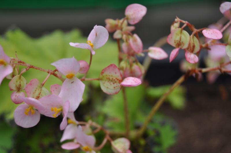 Quelques photos de bégonias en fleurs (ou pas) ici Avril_19