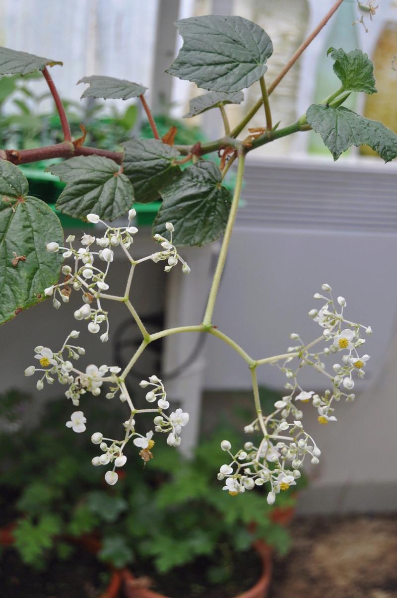 Quelques photos de bégonias en fleurs (ou pas) ici Avril_20