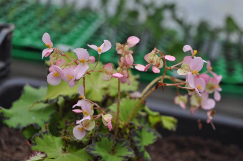 Quelques photos de bégonias en fleurs (ou pas) ici Avril_21