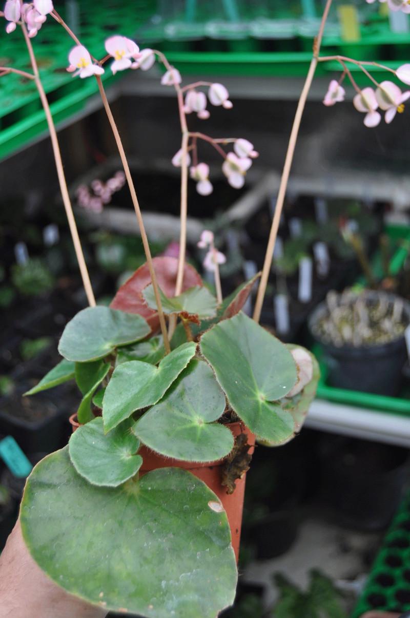 Quelques photos de bégonias en fleurs (ou pas) ici Avril_22