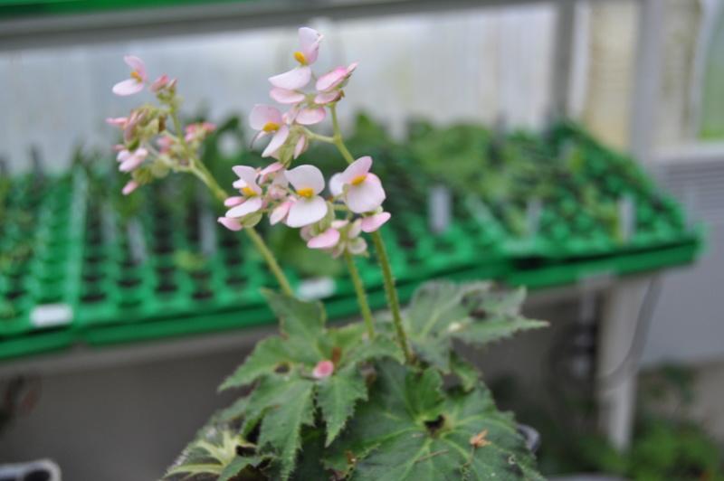 Quelques photos de bégonias en fleurs (ou pas) ici Avril_23