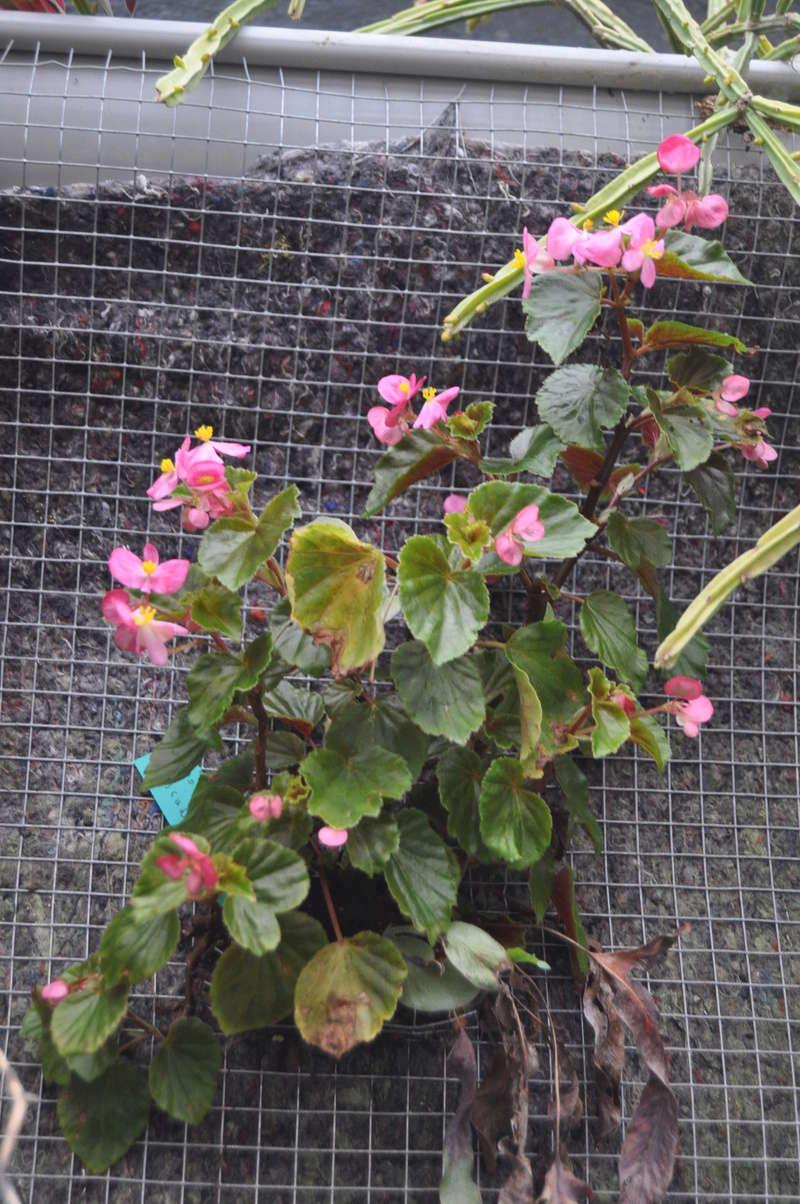 Quelques photos de bégonias en fleurs (ou pas) ici Avril_25