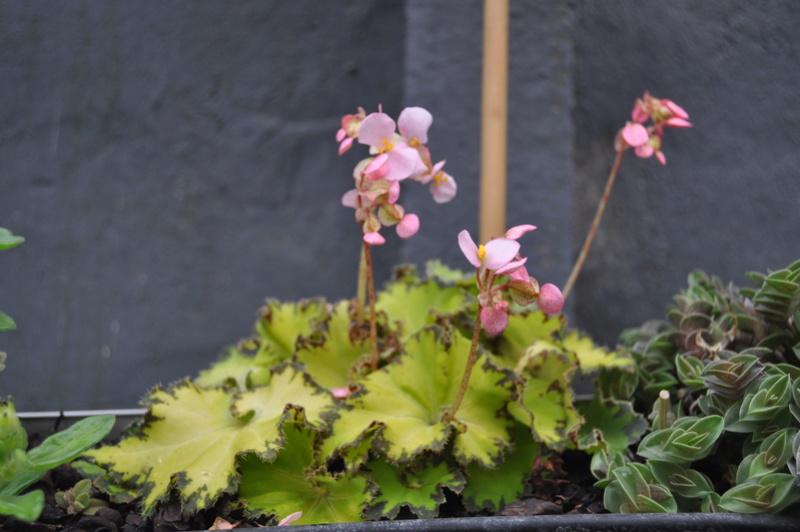 Quelques photos de bégonias en fleurs (ou pas) ici Avril_27