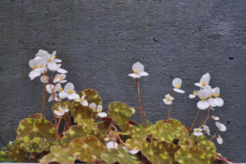 Quelques photos de bégonias en fleurs (ou pas) ici Avril_28