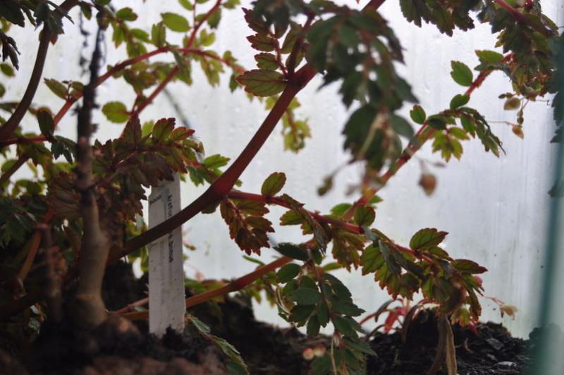 Quelques photos de bégonias en fleurs (ou pas) ici Avril_29