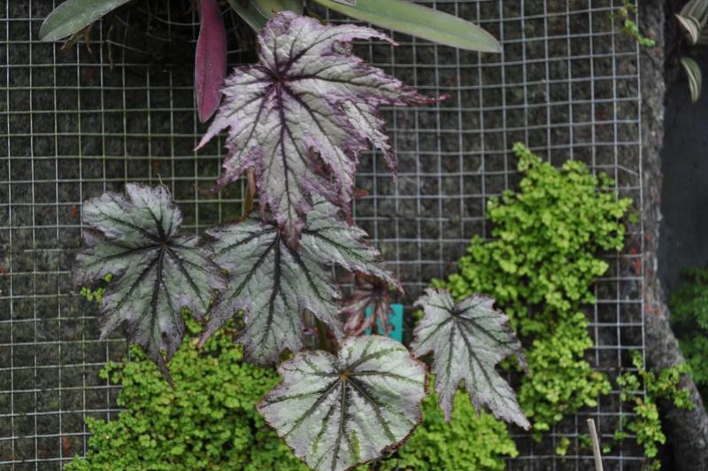 Quelques photos de bégonias en fleurs (ou pas) ici Avril_33