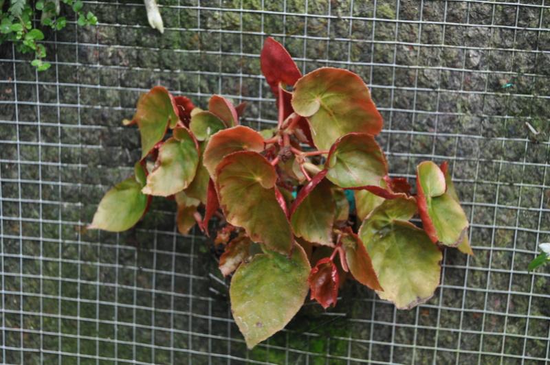 Quelques photos de bégonias en fleurs (ou pas) ici Avril_34