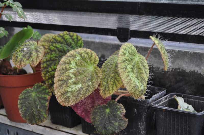 Quelques photos de bégonias en fleurs (ou pas) ici Avril_35