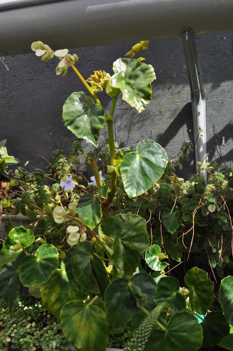 Quelques photos de bégonias en fleurs (ou pas) ici Avril_36