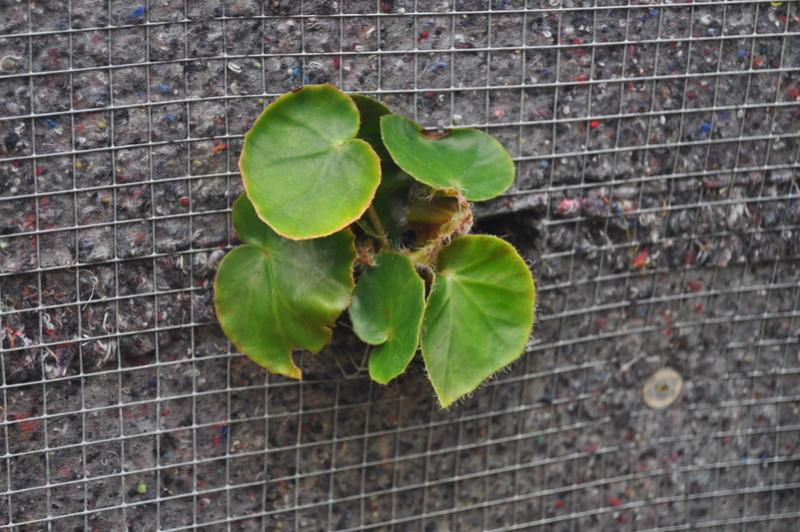 Quelques photos de bégonias en fleurs (ou pas) ici Avril_38