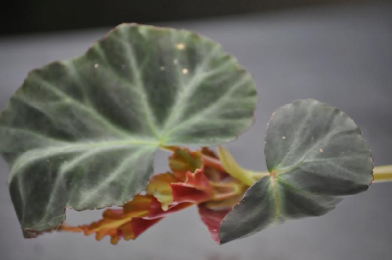 Quelques photos de bégonias en fleurs (ou pas) ici Avril_43