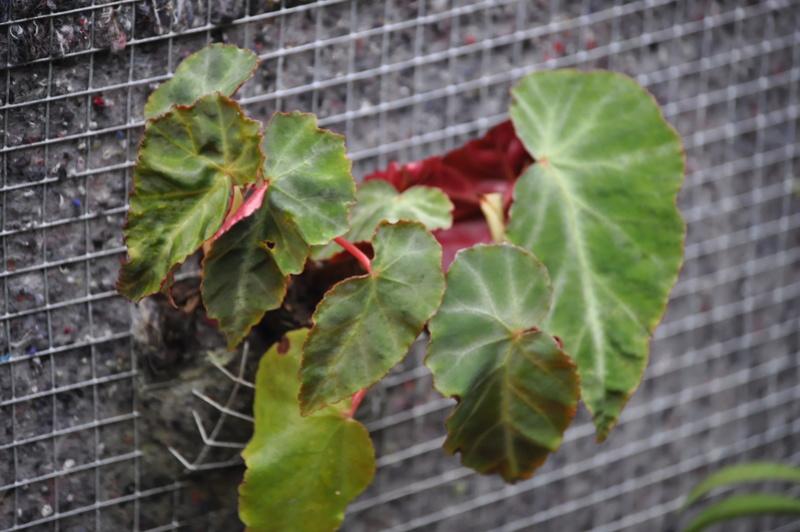 Quelques photos de bégonias en fleurs (ou pas) ici Avril_45