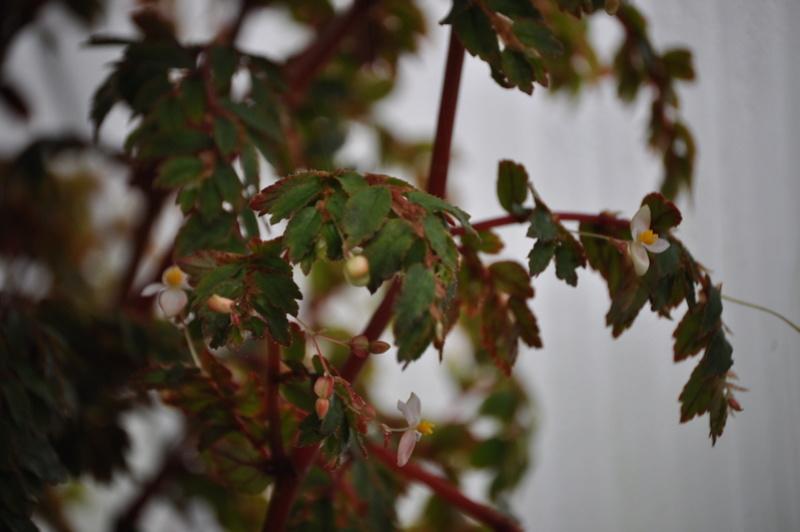 Quelques photos de bégonias en fleurs (ou pas) ici Avril_46