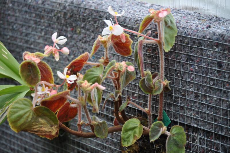Quelques photos de bégonias en fleurs (ou pas) ici Avril_47