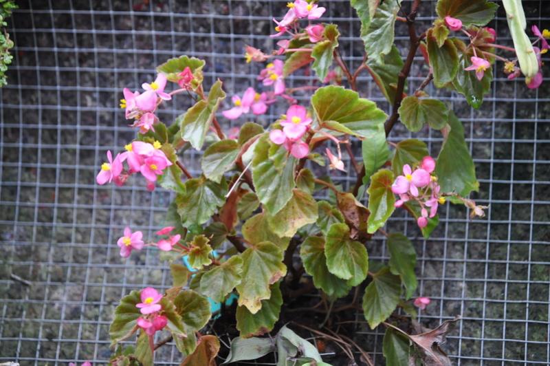 Quelques photos de bégonias en fleurs (ou pas) ici Avril_48