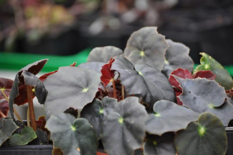 Quelques photos de bégonias en fleurs (ou pas) ici Avril_51