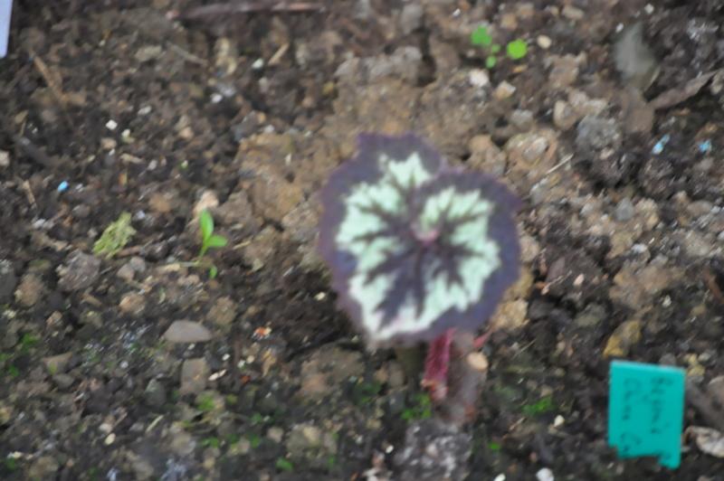 Quelques photos de bégonias en fleurs (ou pas) ici Avril_52