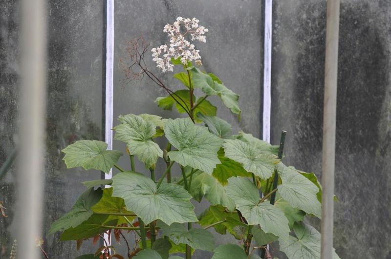 Begonia convolvulacea et ? Begoni10