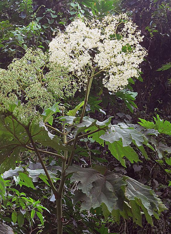 Begonia convolvulacea et ? Begoni11