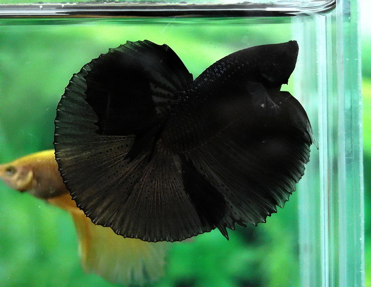 Futur aquarium pour Betta - Page 2 Fwbett10