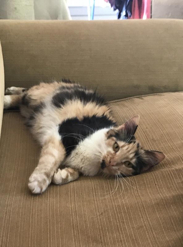 CARMEN - chat femelle, née environ septembre 2016 - PASCANI - adoptée par Sarah et Kevin (depart 57) Img_1712