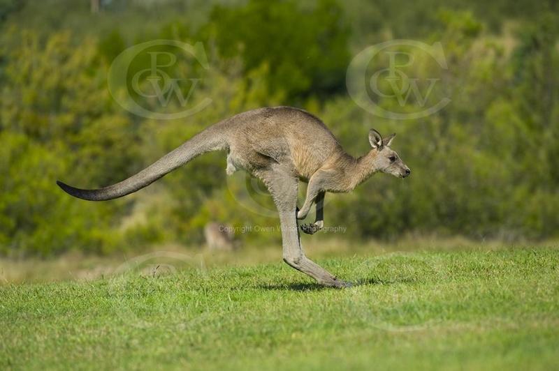 Southlands Replicas - Eastern Grey Kangaroo Hopping Female10