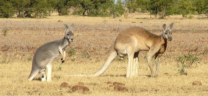 Southlands Replicas - Eastern Grey Kangaroo Hopping Male_v10