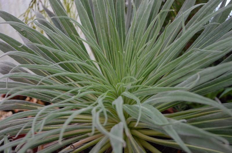 Echium wildpretii - Seite 10 00310