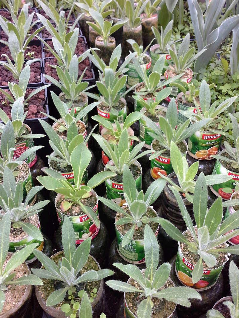 Echium wildpretii - Seite 12 20170411