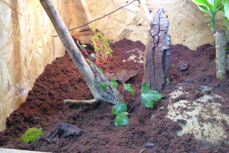 Sceloporus malachiticus P1050618