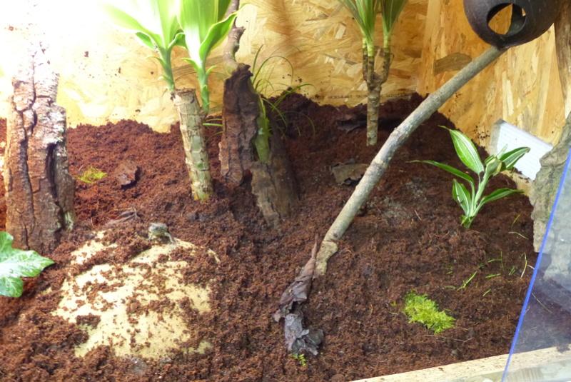Sceloporus malachiticus P1050623