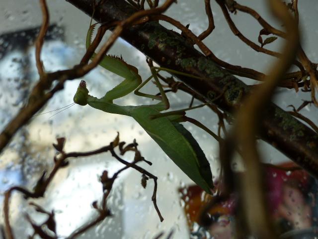 Terrarium de ma Mantes (superbe affaire) P1060011
