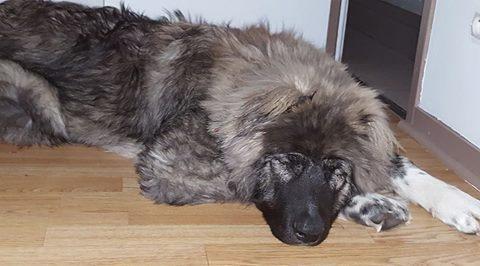 SHANA (ex AKELA) - chiot femelle Berger Roumain de Bucovine aveugle, né 08/2016, grande taille - adoptée par Fabien et Mélanie (depart27) - Page 3 17098412