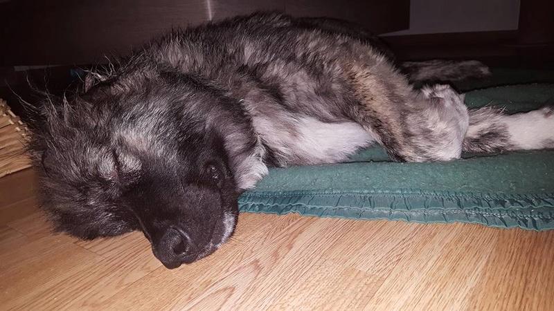 SHANA (ex AKELA) - chiot femelle Berger Roumain de Bucovine aveugle, né 08/2016, grande taille - adoptée par Fabien et Mélanie (depart27) - Page 3 17098711