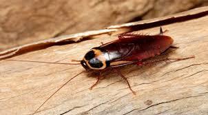 Le monde merveilleux des insectes - Page 2 Cafard10