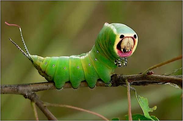 Le monde merveilleux des insectes - Page 2 Chenil11