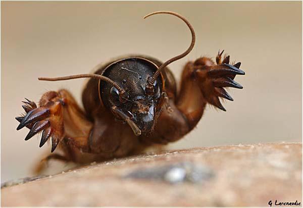 Le monde merveilleux des insectes - Page 2 Grillo10
