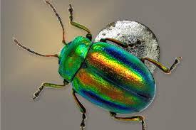 Le monde merveilleux des insectes Scarab10