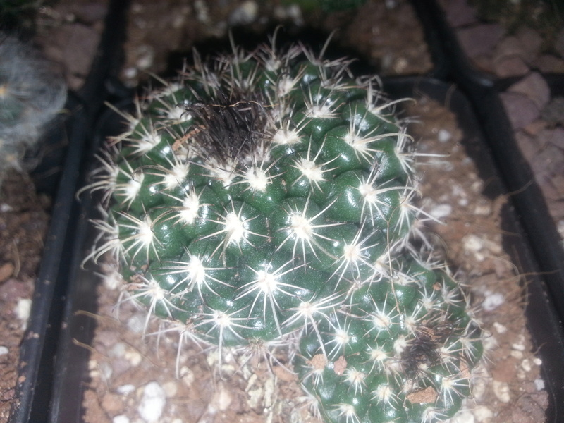 Is this belongs to mammillaria  genus?  20170312