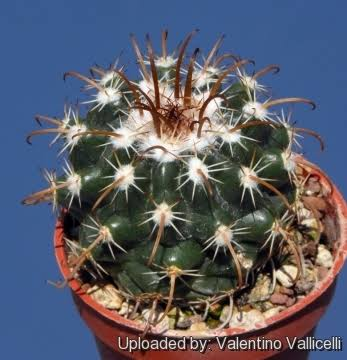 Is this belongs to mammillaria  genus?  Images10