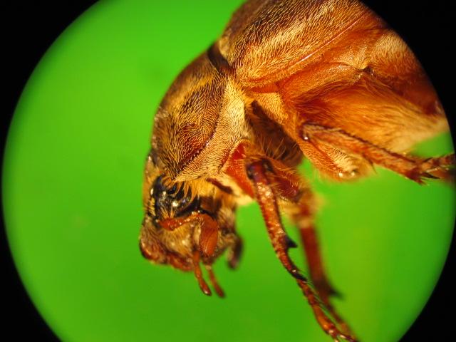 Of The Genus Phyllophaga: May_be11