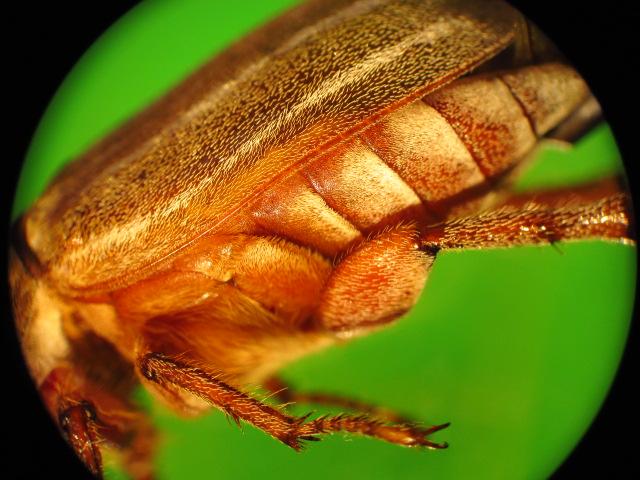 Of The Genus Phyllophaga: May_be12