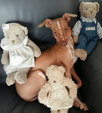 Mingus bébé nu Péruvien , 7 mois  Adopté  17499410