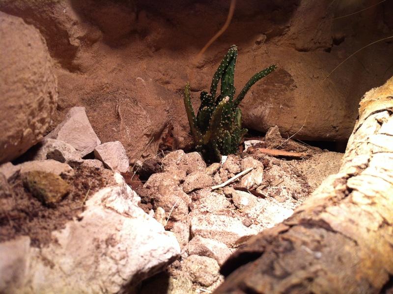Nouveau terrarium (coleonyx brevis) Img_1914