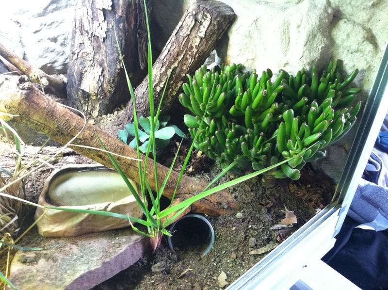 terrarium cordylus tropidosternum Img_2013