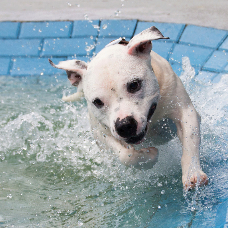 So staffies don't like water, eh? 13495_10
